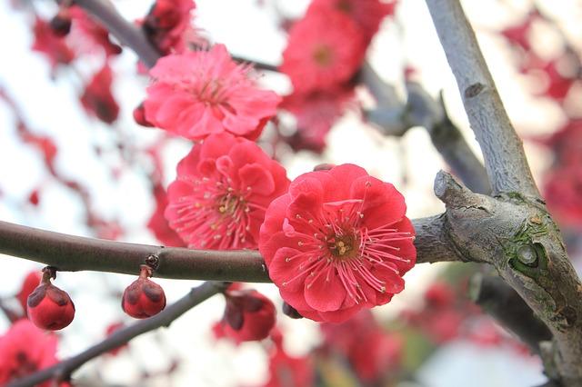 plum-blossom-89535_640