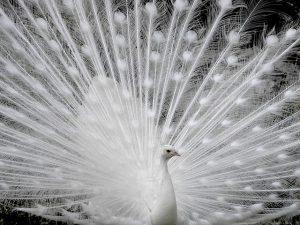 peacock-740593_640